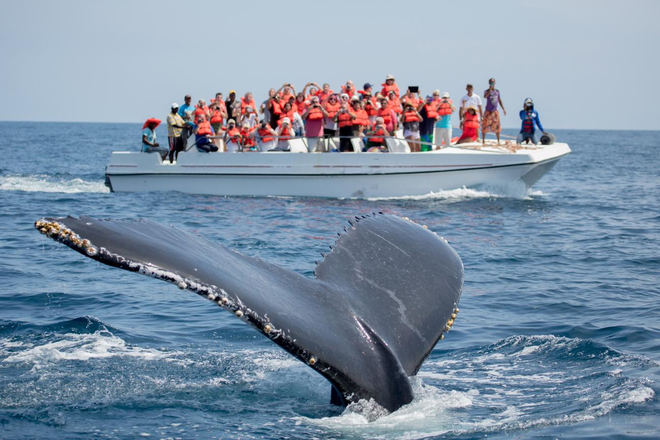 La queue de baleine à bosse à Samana, en République dominicaine