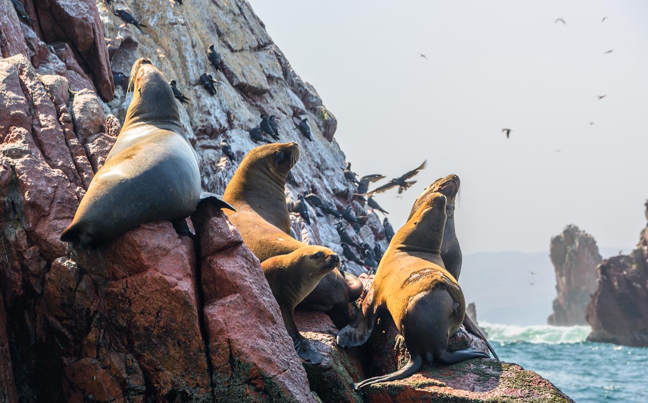 Iles de Ballestas Paracas, Pérou