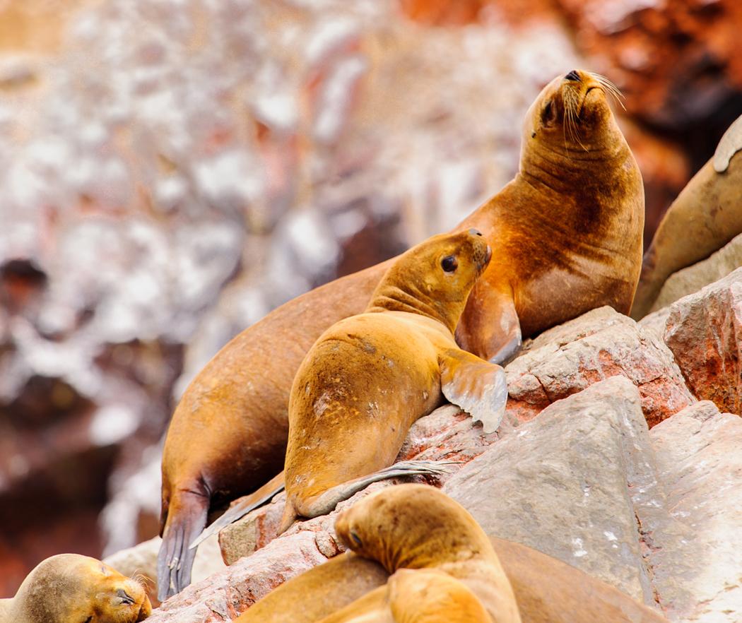 otaries îles Ballestas Paracas, Péro